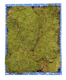 Muschio a tappeto