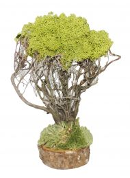 Pino lichene